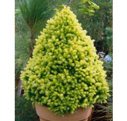 Picea glauca ´Daisy´s White´ / Smrk sivý, 30-40 cm, C3