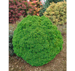 Picea glauca ´Alberta Globe´ / Smrk, 20-25 cm, C3,5