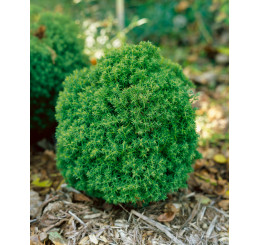 Thuja occidentalis ´Teddy´ / Zerav západní , 15 - 20 cm, K9