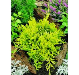 Juniperus horizontalis 'Golden Carpet' / Jalovec, 10-12 cm, K9