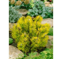 Pinus mugo ´Carsten Wintergold´ / Borovice kleč, K9