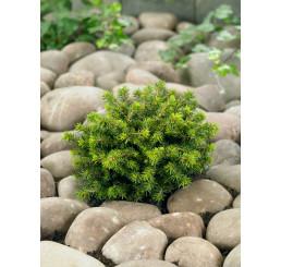 Picea abies ´Little Gem´ / Smrk ztepilý, 20-25 cm, C3