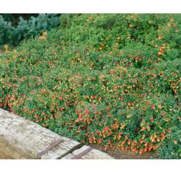 Vaccinium vitis-idaea ´Sanna´/ Brusnice brusinka, 10-15 cm, K9
