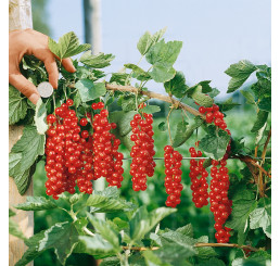 Ribes rubrum ´Rovada´ / Rybíz červený, keř, 2-3 výh.