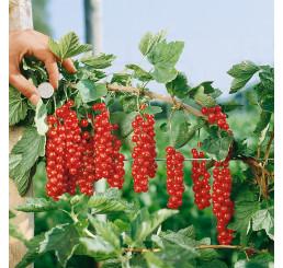 Ribes rubrum ´Rovada´ / Rybíz červený, keř, 4-5 výh.