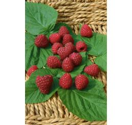 Rubus idaeus ´Zewa III.´ / Maliník červený, keř, K9