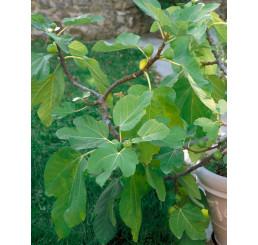 Ficus carica ´Dotato´ / Fíkovník smokvoň, 80-100 cm, C2