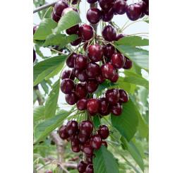 Prunus avium ´Kordia´ / Třešeň, Colt