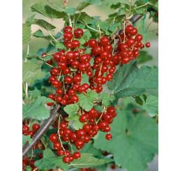 Ribes rubrum ´Trent´ / Rybíz červený, keř, VK, 1 výh.