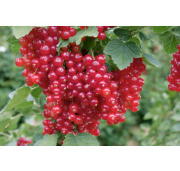 Ribes rubrum ´Red Lake´ / Rybíz červený, keř, 4-5 výh.