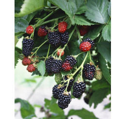 Rubus fruticosus ´Black Satin´ / Ostružina beztrná, K9