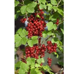 Ribes rubrum ´Red Lake´ / Rybíz červený, stromek, ryb.zl.