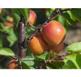 Prunus armeniaca ´Pinkcot´ / Meruňka raná, myr.