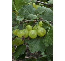 Ribes grossularia ´Invicta´ / Angrešt bílý rezistentní, roubovaný keř, VK