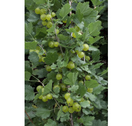 Ribes grossularia ´Invicta´/ Angrešt bílý rezistentní, stromek, ryb.zl. 2-3 výh.