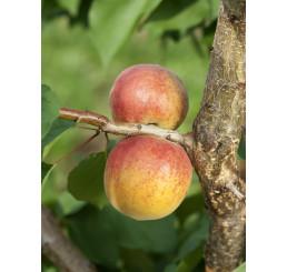 Prunus armeniaca ´Veľkopavlovická´ / Meruňka středně raná, myr.