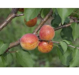 Prunus armeniaca ´Leskora´ / Meruňka, myr.