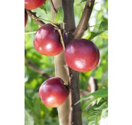 Prunus persica ´Big Top´ / Nektarinka, sem.
