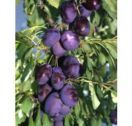 Prunus domestica ´Čačanská Najbolja´ / Slivoň, wangen.