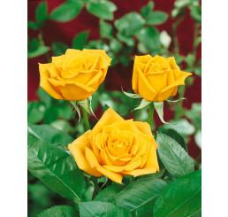 Rosa ´Golden Leader´ / Růže čajohybrid žlutá, keř, BK