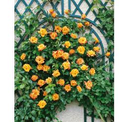 Rosa ´Clg. Sutter´s Gold´ / Růže popínavá, keř