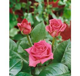 Rosa ´Jacaranda´ / Růže čajohybrid, STROMEK 120 cm, BK