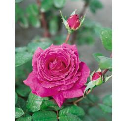 Rosa ´Eminence´ / Růže čajohybrid fialová, keř, BK