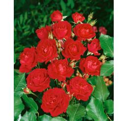 Rosa ´Nina Weibull´ / Růže mnohokvětá, keř, BK