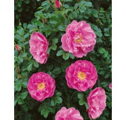 Rosa rugosa / Růže svraskalá, bal. 50 sem.