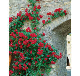 Rosa ´Clg. Paul Scarlet´ / Růže popínavá červená, keř, BK