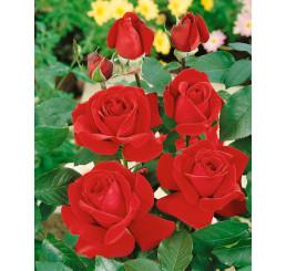Rosa ´Mr. Lincoln´ / Růže čajohybrid tmavě červená, keř, BK