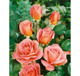 Rosa ´Tiffany´ / Růže čajohybrid růžová, keř, BK