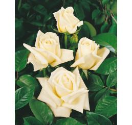 Rosa ´White weekend´ / Růže čajohybrid bílá, keř, BK