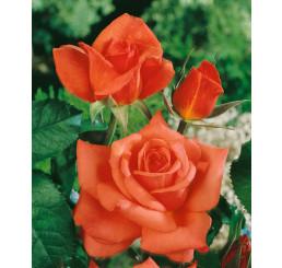 Rosa ´Monica´ / Růže čajohybrid oranžovočervená, keř, BK