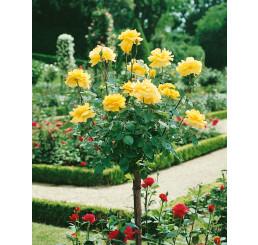 Rosa ´Casanova´ / Růže čajohybrid, STROMEK 120 cm, BK