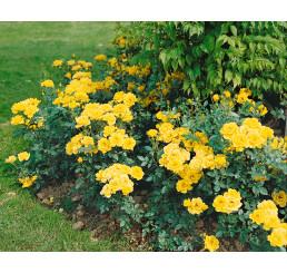 Rosa ´Citron´ / Růže mnohokvětá žlutá, keř, BK