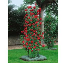 Rosa ´Paul´s Scarlet´ / Růže popínavá rudá, keř, C3