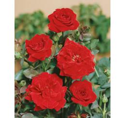 Rosa ´Clg. Don Juan´ / Růže popínavá červená, keř, BK