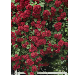 Rosa ´Clg. Crimson Glory´ / Růže popínavá červená, keř, C2,5