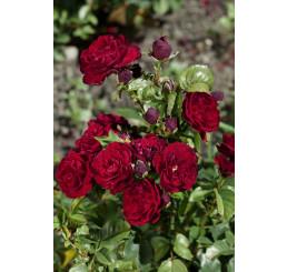 Rosa ´Lavaglut´ / Růže mnohokvětá červená, keř, BK