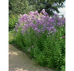 Campanula lactiflora ´Loddon Anna´ / Zvonek širokolistý, C1,5