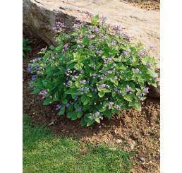 Brunnera macrophylla / Pomněnkovec velkolistý , K9