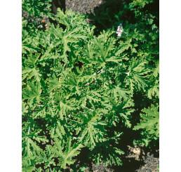 Pelargonium citr. ´Moskito Schocker´ / Muškát odpuzující komáry, bal. 6 ks sadbovač.
