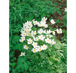 Anemone sylvestris / Sasanka lesní, C1,5