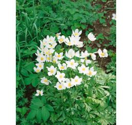 Anemone sylvestris / Sasanka lesní, K9