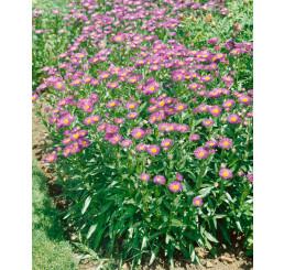 Erigeron speciosus ´Rosa Jewel´ / Turan nádherný fialovorůžový, C1,5