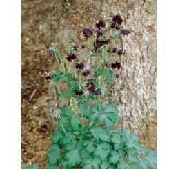 Aquilegia vulgaris Black Barlow / Orlíček obecný , K9