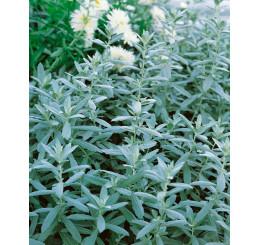 Artemisia absinthium 'Lambrook Silver' / Pelyněk pravý, absint , K9