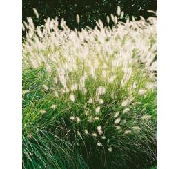 Pennisetum alopecuroides ´Hameln´ / Dochan psárkovitý, C1,5