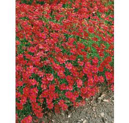 Coreopsis rosea ´American Dream´ / Krásnoočko, K9